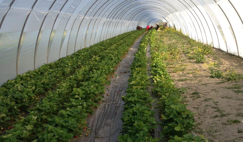 Récolte de fraises sous tunnel