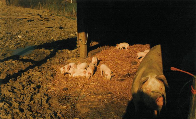 L'élevage de porcins des années 80