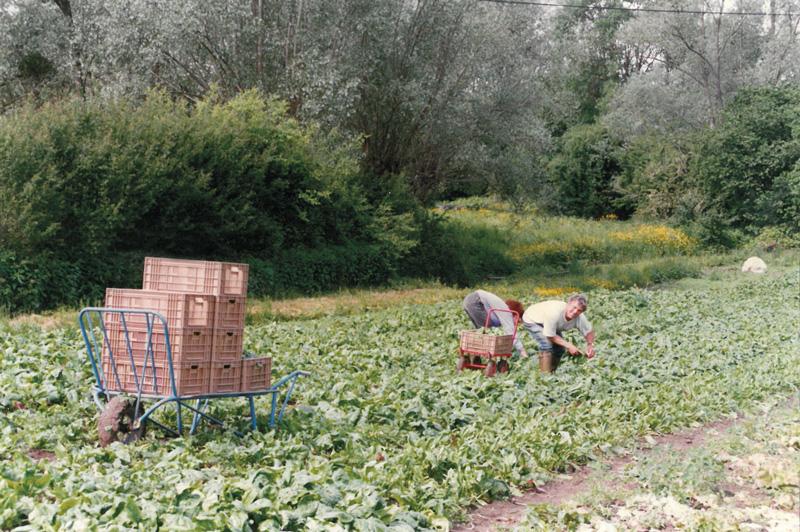 Alain en récolte d'épinards