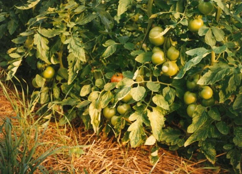 Culture de tomates paillées sous tunnel