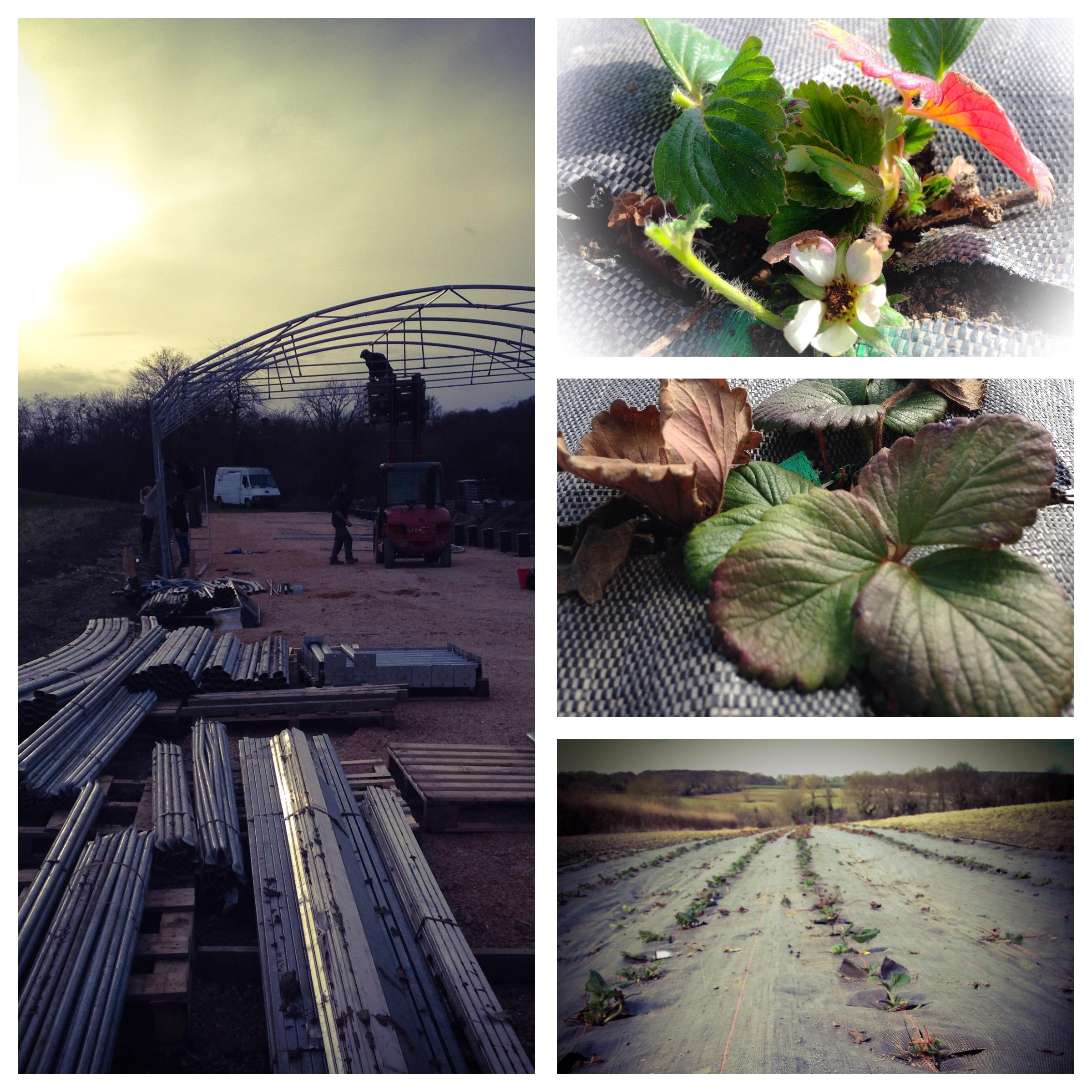 Les fraisiers en hiver