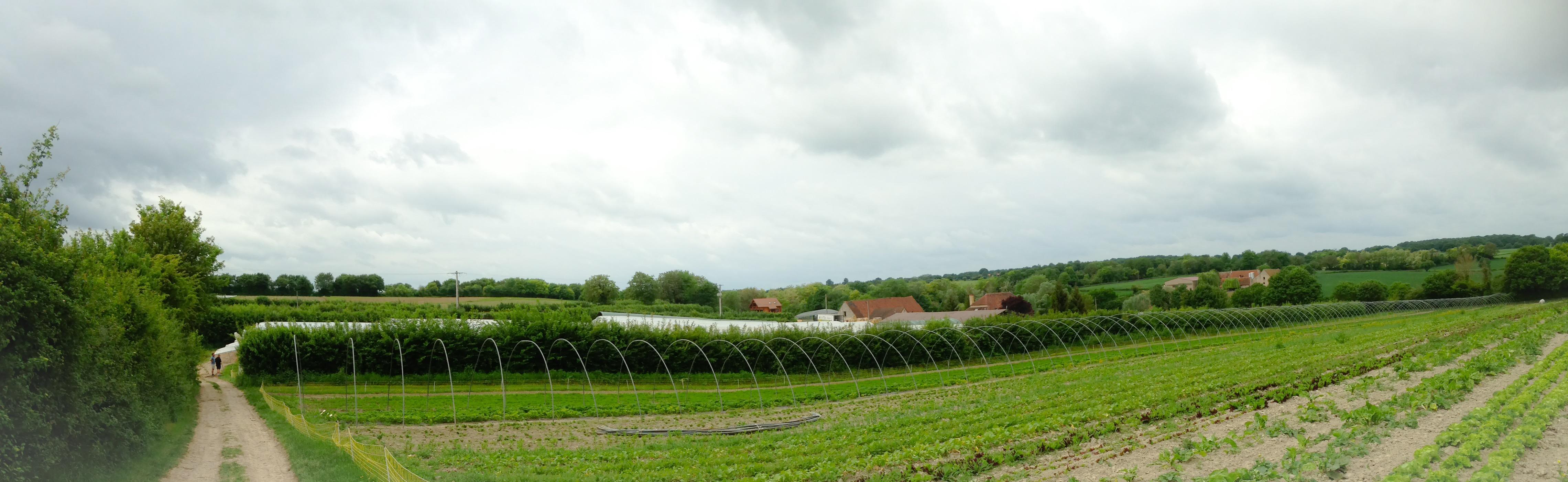 Les premiers arceaux sur la plantation de fraises