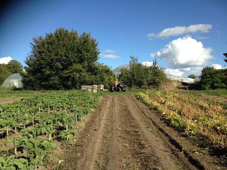 A gauche la culture du chou Kale, à droite le haricot demi-sec en fin de production