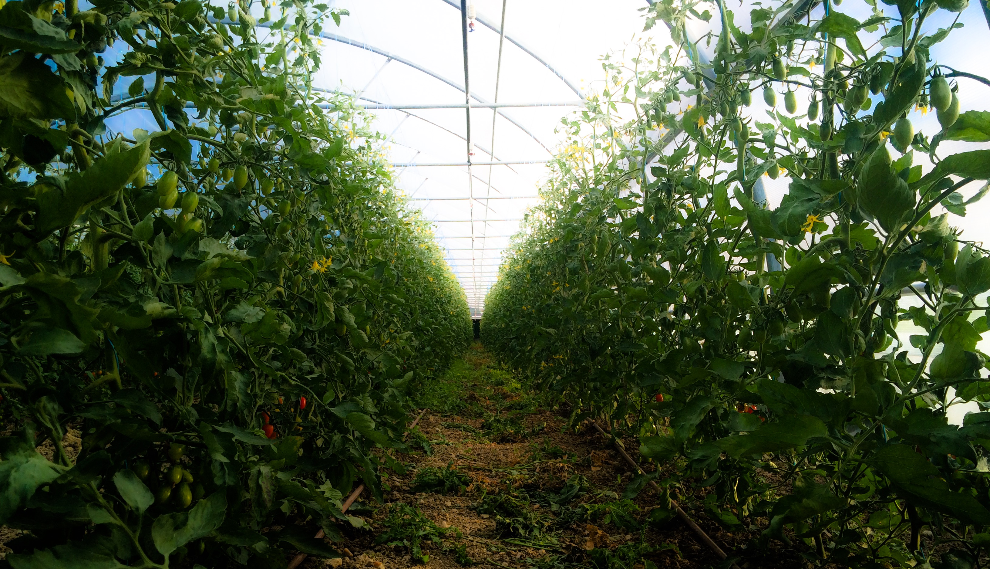 Serre de tomate (en pleine terre)