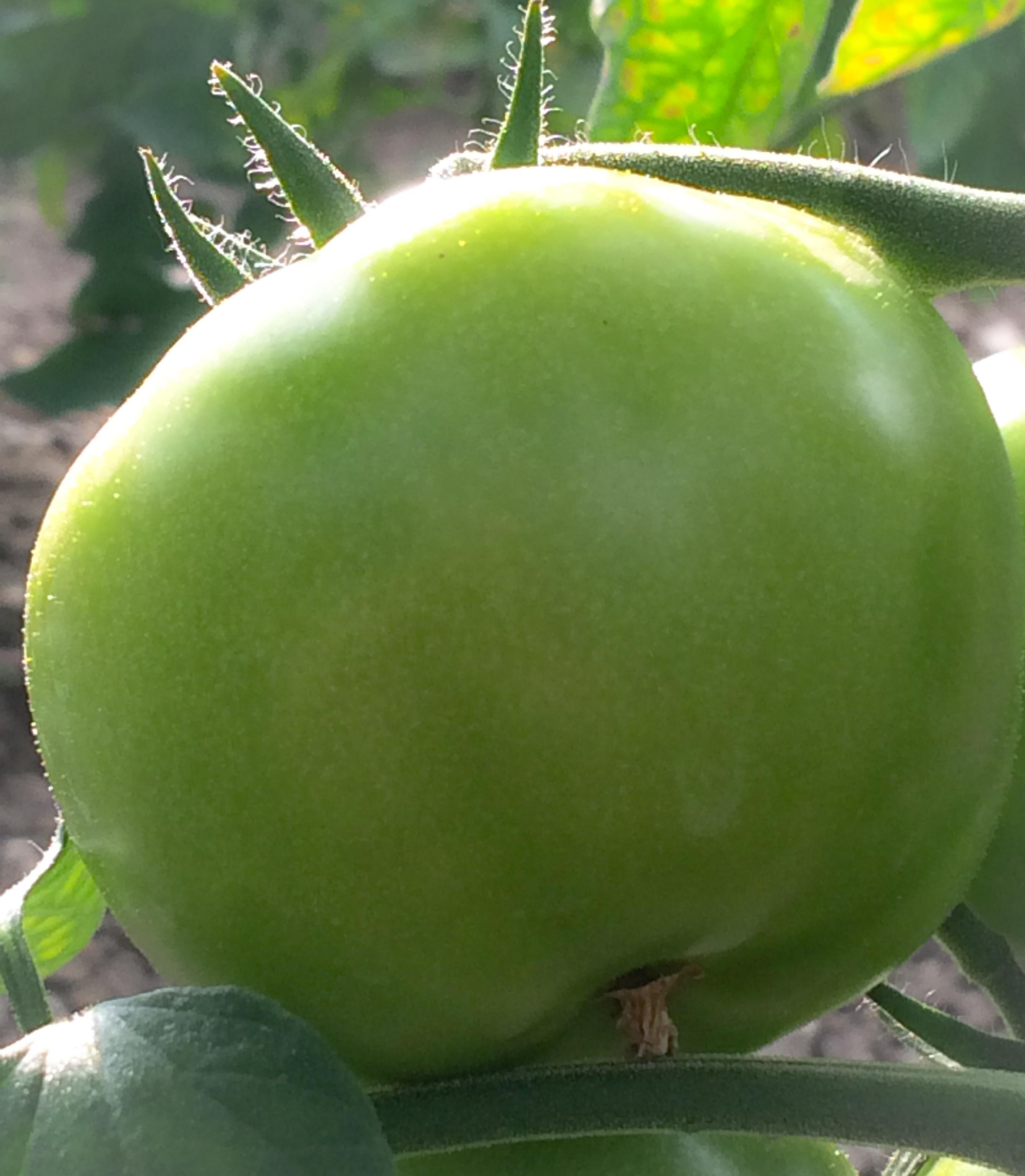 Les premières tomates rondes