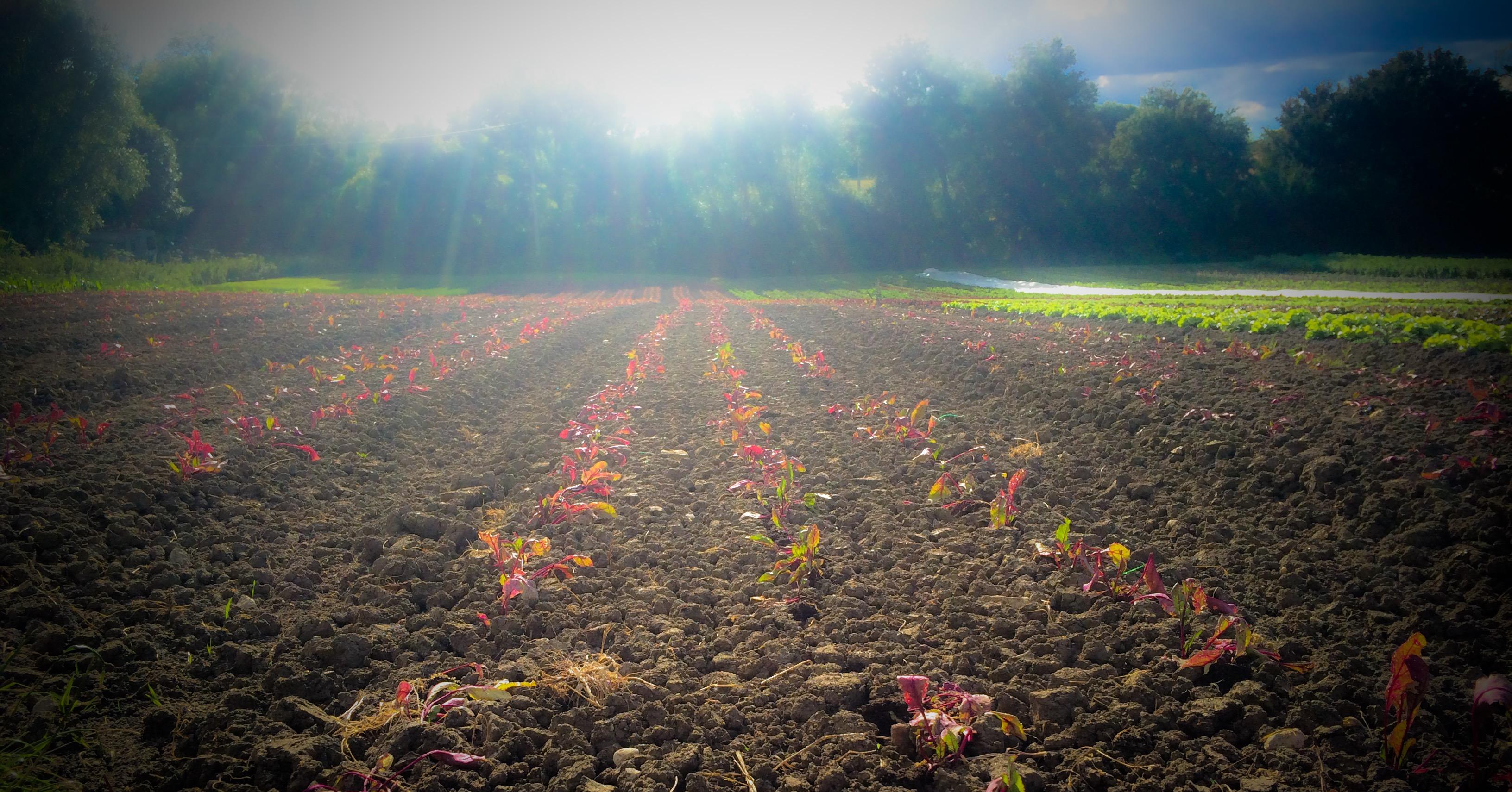 Plantation de betterave