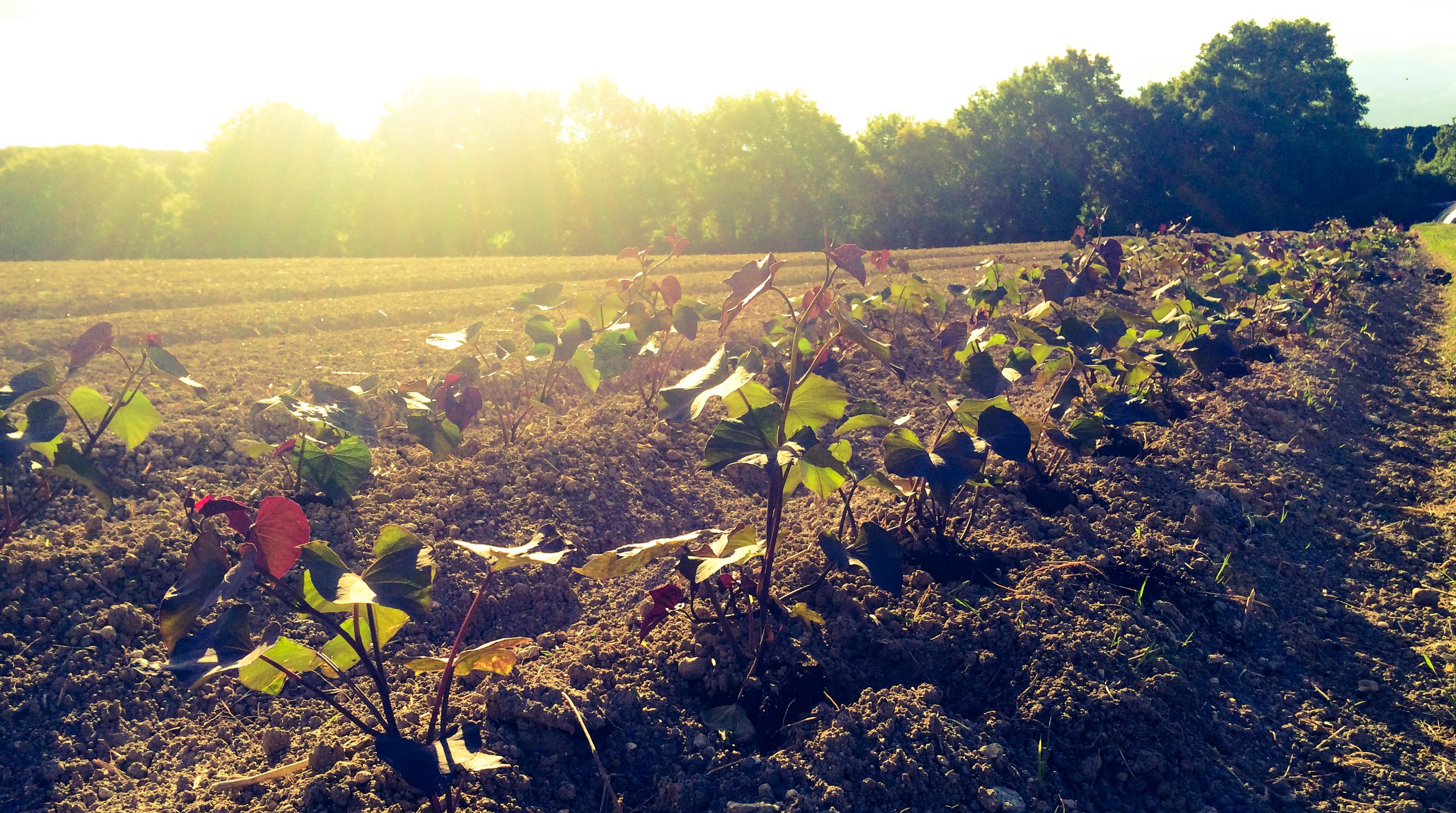 Plantation de patate douce en plein champ