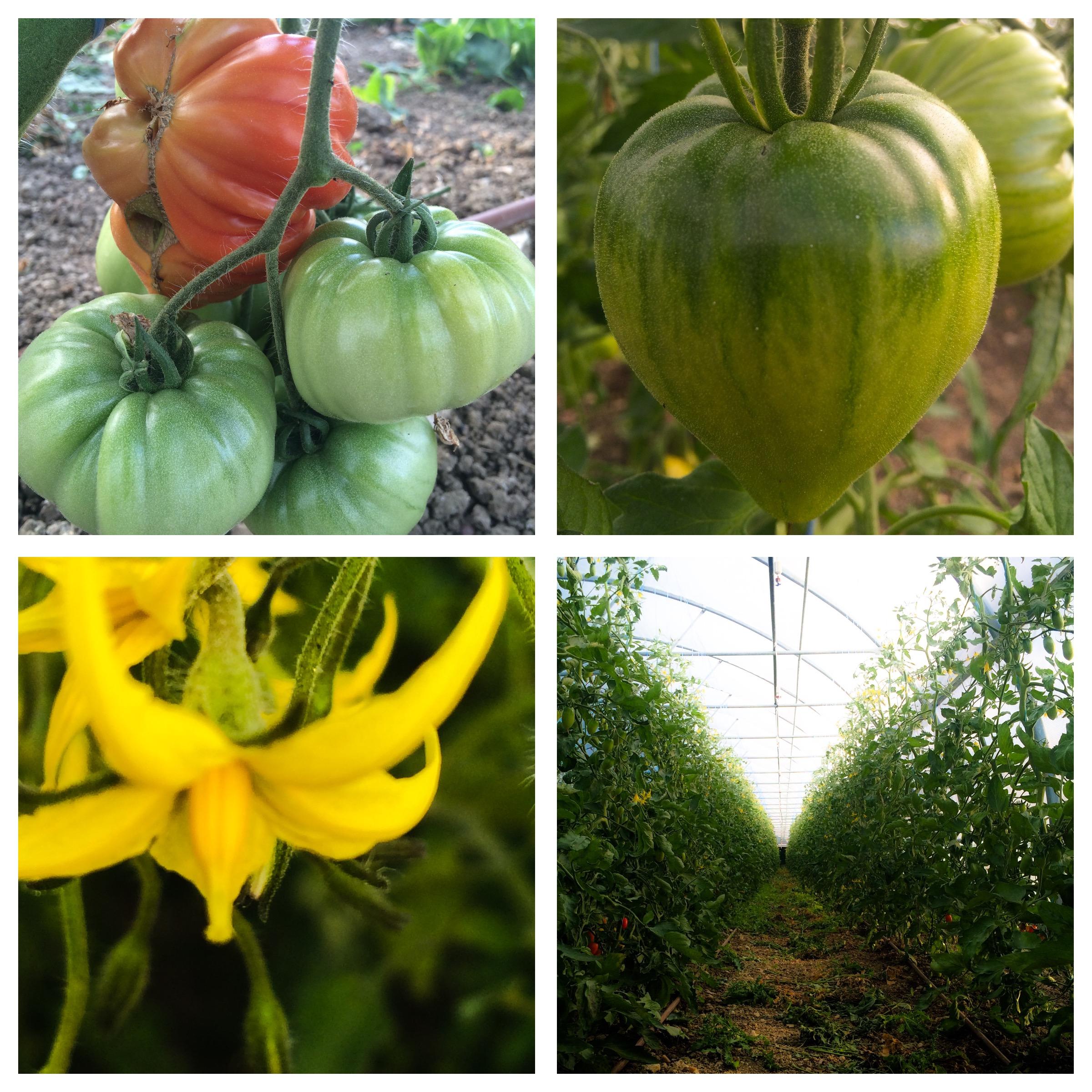 Les tomates sous serres, fleurs et fruits.