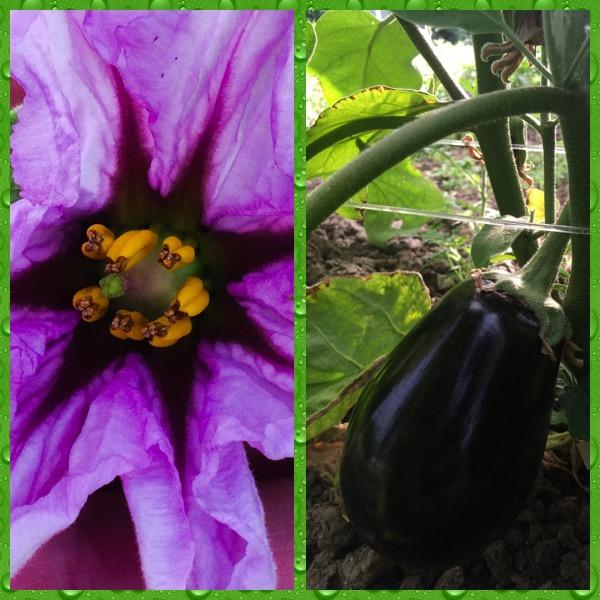 Aubergine sous serre, fleur et fruit